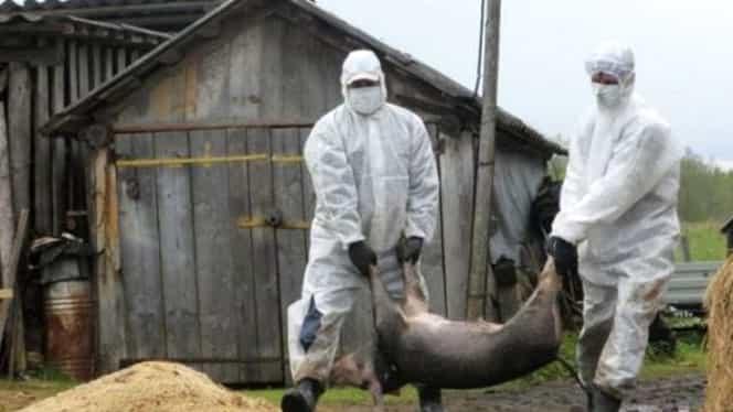 Pesta porcină a lovit în județul Dâmbovița! Trei porci au murit deja!
