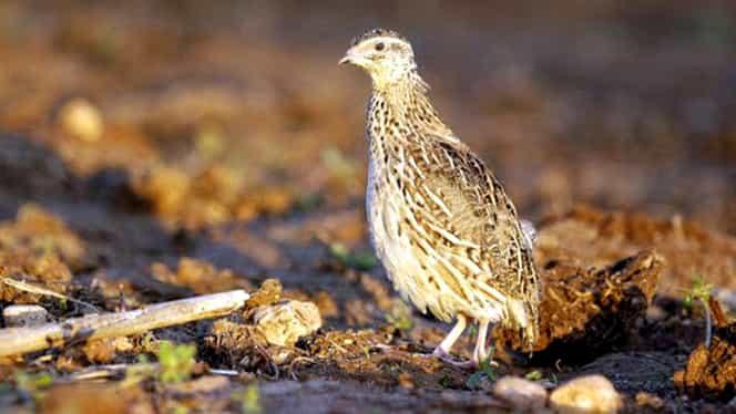 În plină pandemie de coronavirus, revine și gripa aviară! Au fost ucise deja 25.000 de păsări