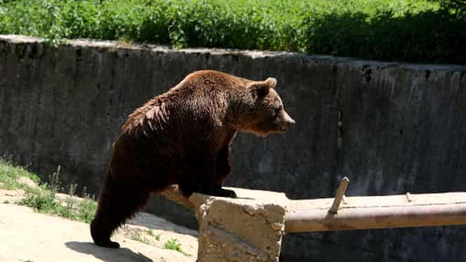 VIDEO. Cabana Postăvarul, asediată de un urs flămând. Animalul a distrus uşa cabanei! Turiştii, în pericol!