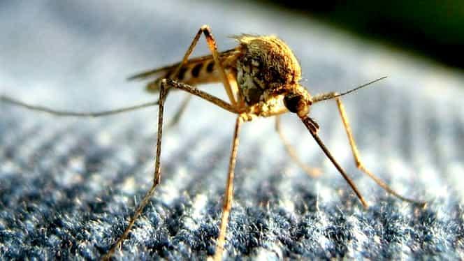 Virusul West Nile a ajuns și in Romania. Simptome și transmitere