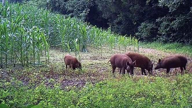 Porumbul din zonele cu pestă porcină va fi ars, iar lupii, urşii, şacalii şi vulturii vor fi ucişi!