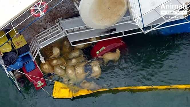 Vaporul plin cu oi, răsturnat în Portul Midia, a fost abandonat toată noaptea. Mii de cadavre plutesc și acum pe apă VIDEO