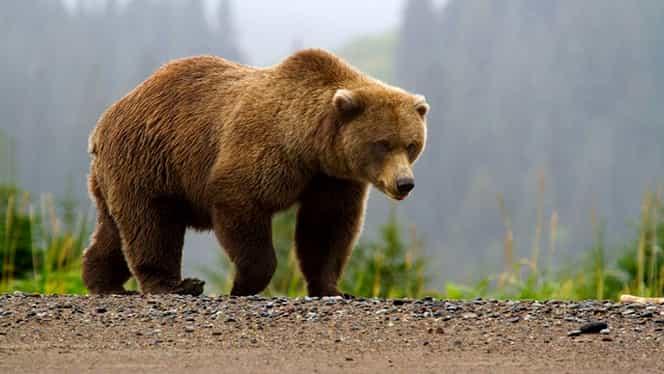 Panică în Harghita! Un urs a pus pe jar un sat întreg! Locuitorii, avertizați prin mesaj de tip RO ALERT!