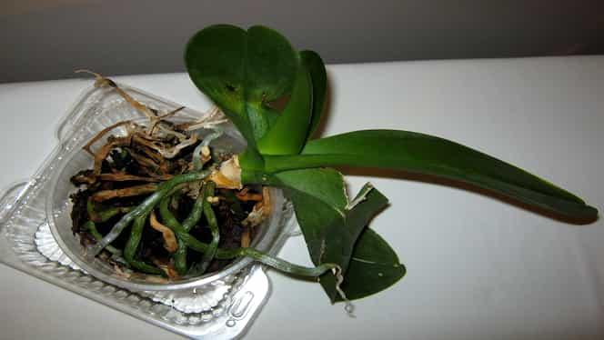 Bicarbonatul de sodiu aduce plantele la viață. Trucuri știute de florărese