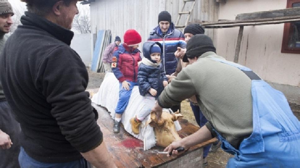 Tradiții și obiceiuri de Ignat: copii trebuie lăsați să încalece porcul după sacrificare pentru a fi sănătoși și voioși în anul următor. Li se face și o cruce cu sângele porcului pe frunte