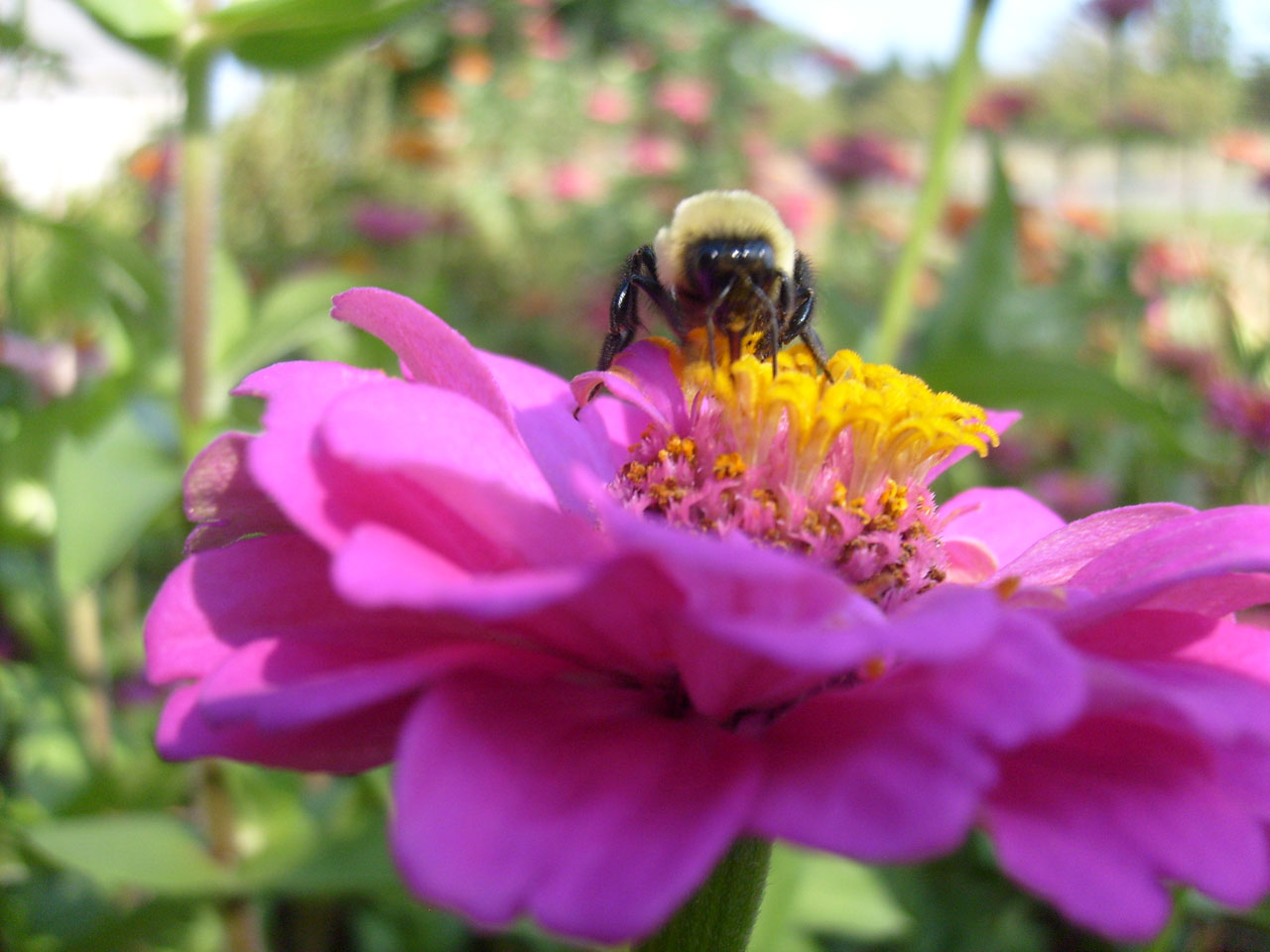 """Propolisul este produs de albine din rășina culeasă de pe mugurii şi ramurile tinere de brad, molid, arin, plop, mesteacăn, vișin, cireș, combinată cu secreții proprii. """"Farmacia albinelor"""" în folosul oamenilor"""