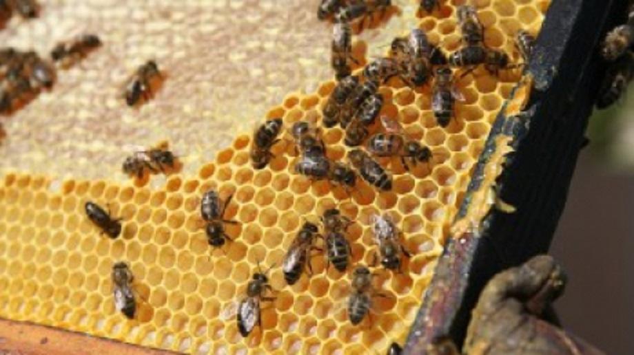 """Albinele """"tapetează"""" stupul cu propolis pentru a se proteja împotriva agresorilor externi și oferă oamenilor leacul pentru multe boli"""