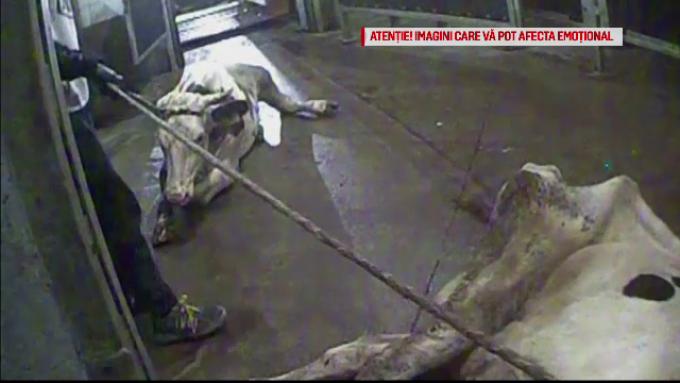 Carne de la vitele bolnave din Polonia a ajuns și în România! Anunțul autorităților