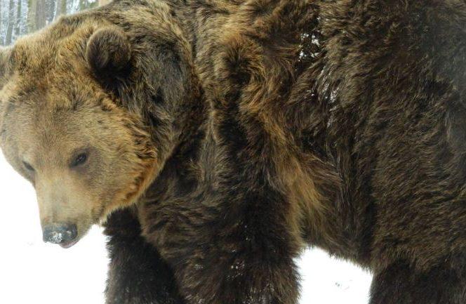 Mesaj RO-ALERT despre prezența unui urs
