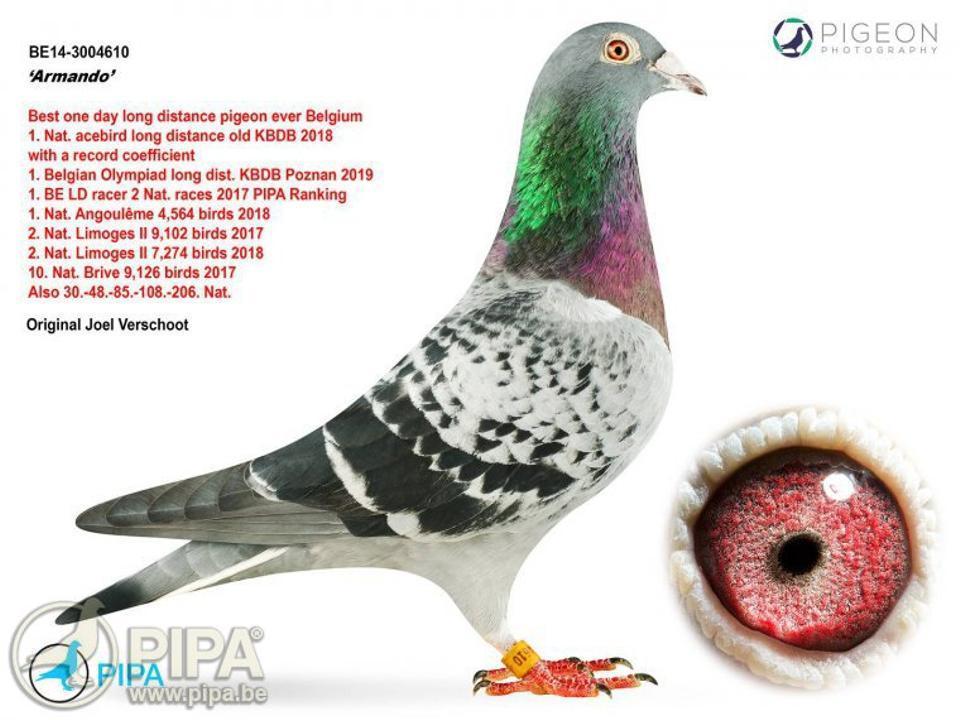 Armando este porumbelul voiajor cumpărat ăn schimbul unei sume ce depășește un milion de euro