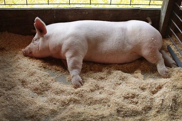 Pestă porcină confirmată în Argeș! Porci