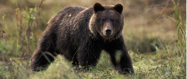 Un urs a fost semnalat în județul Harghita